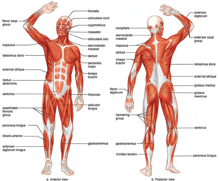 Muscular System: Show off Your Guns - Anatomy and physiology