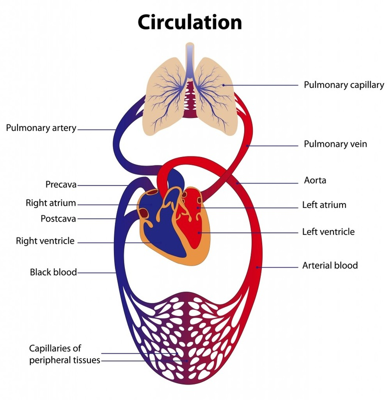 Respiratory System: Take a Deep Breath - Anatomy and physiology